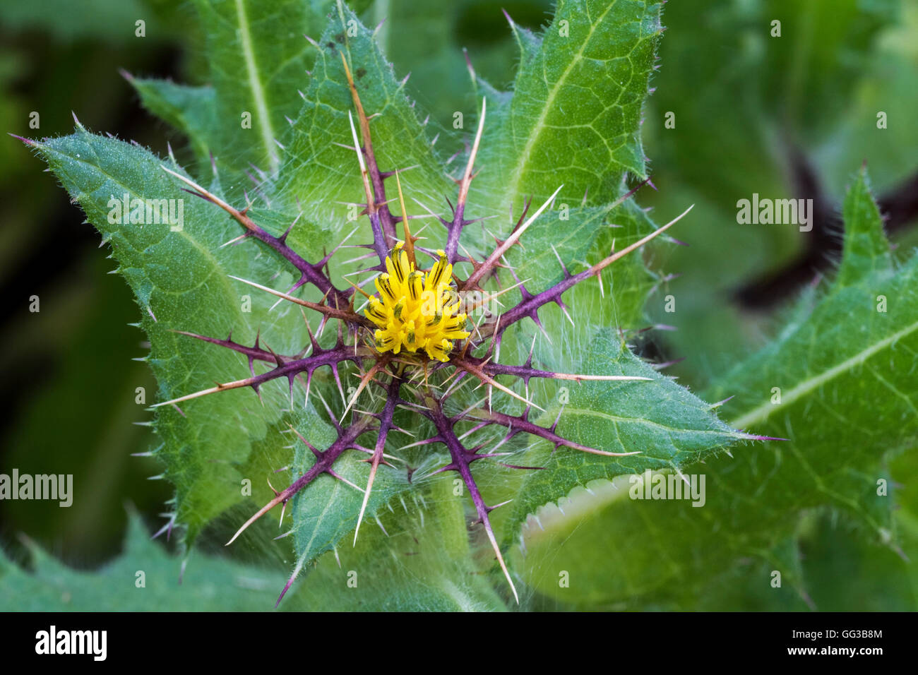 St. Benedict's thistle / blessed thistle / holy thistle / spotted thistle (Cnicus benedictus), native to the - Stock Image