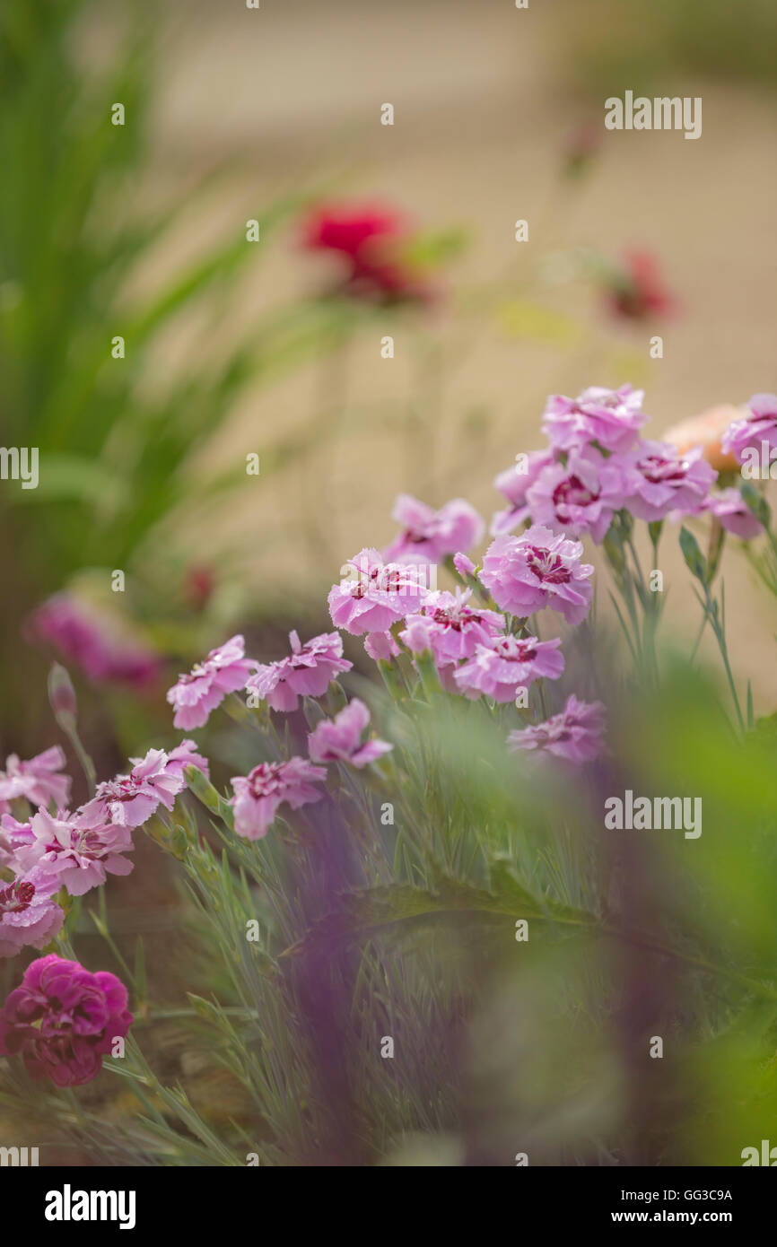 PInk Carnation flowers. - Stock Image
