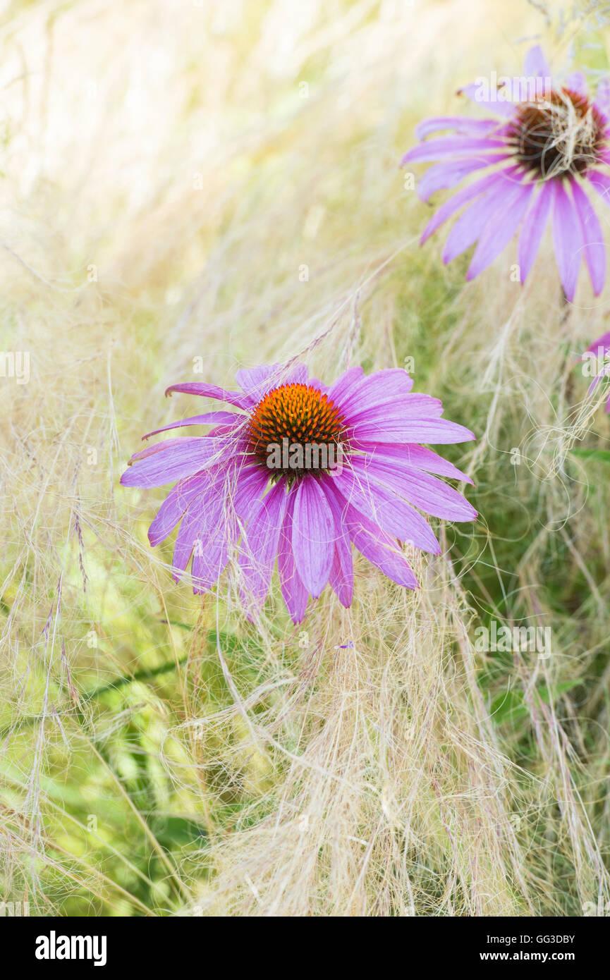 Echinacea purpurea 'rubinglow' coneflower amongst Stipa tenuissima grass - Stock Image