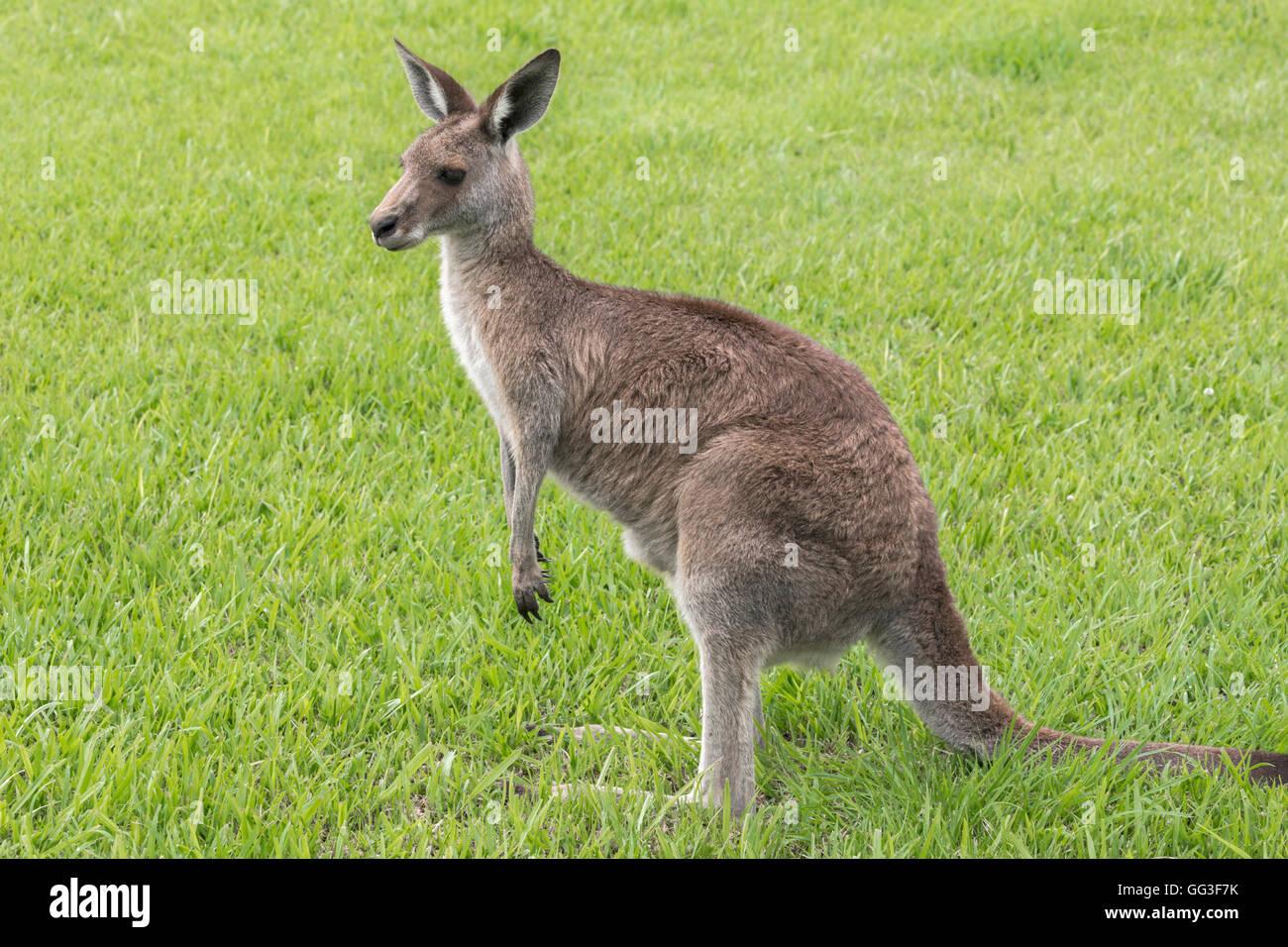 Eastern Grey kangaroo, Macropus giganteus, photographed in a semi-urban setting, southern Queensland, Australia. - Stock Image