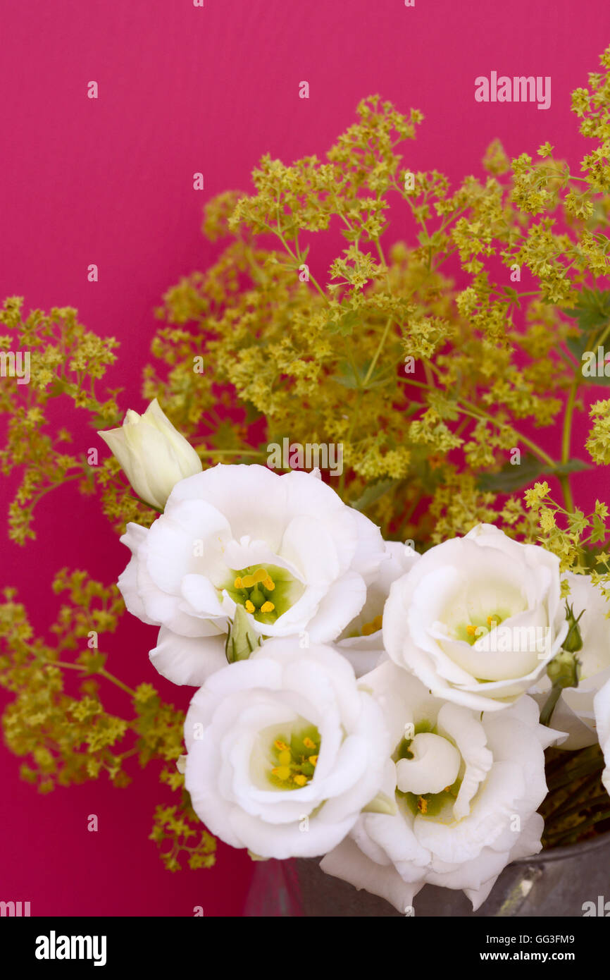 White tulip gentian flowers and frondy alchemilla mollis against a deep pink background - Stock Image