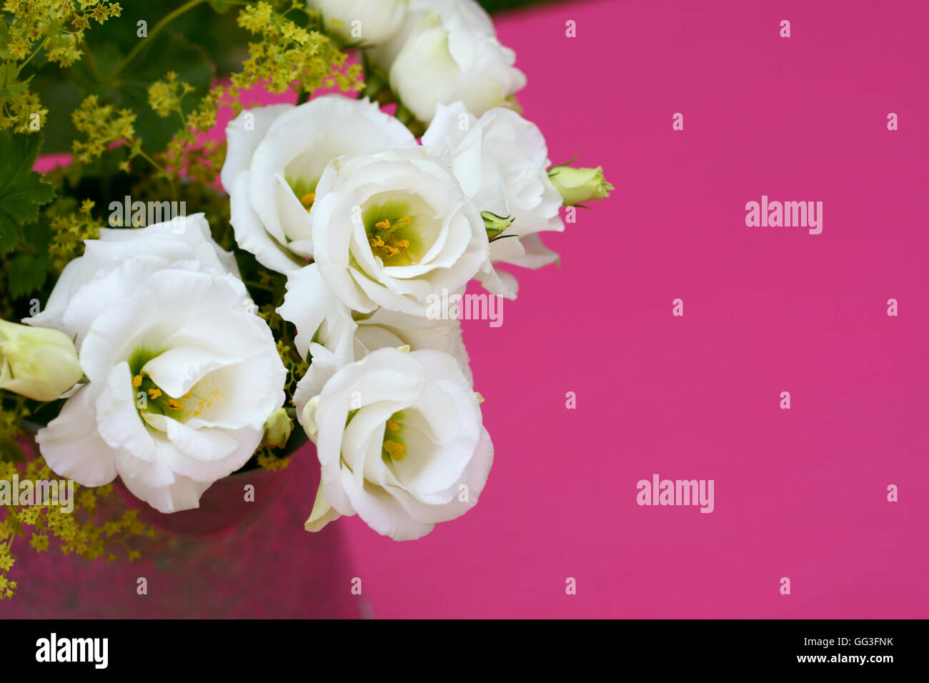 Delicate white prairie gentian flowers against a pink painted background with copy space - Stock Image