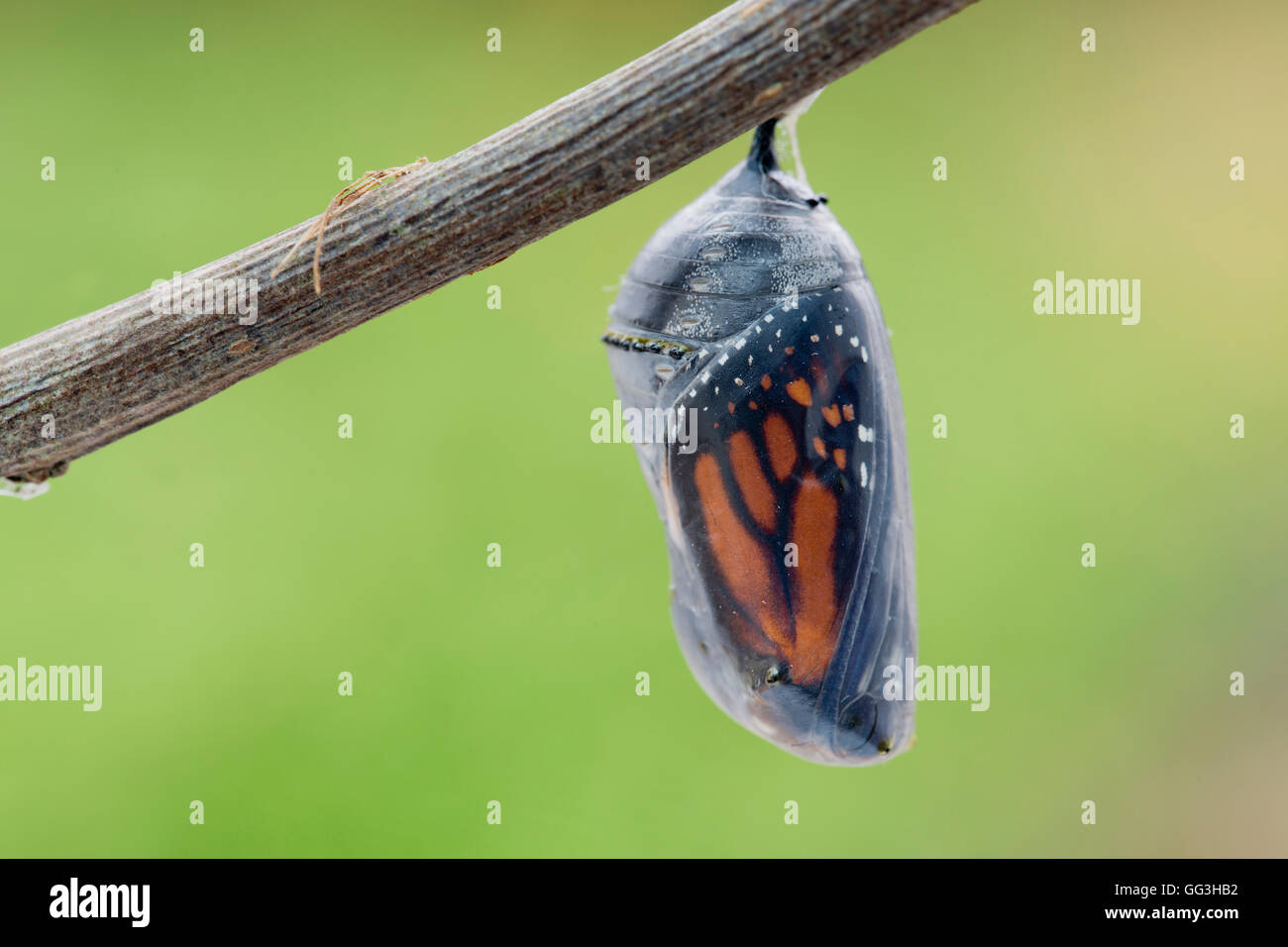 Monarch Butterfly Pupa; Danaus plexippus UK - Stock Image
