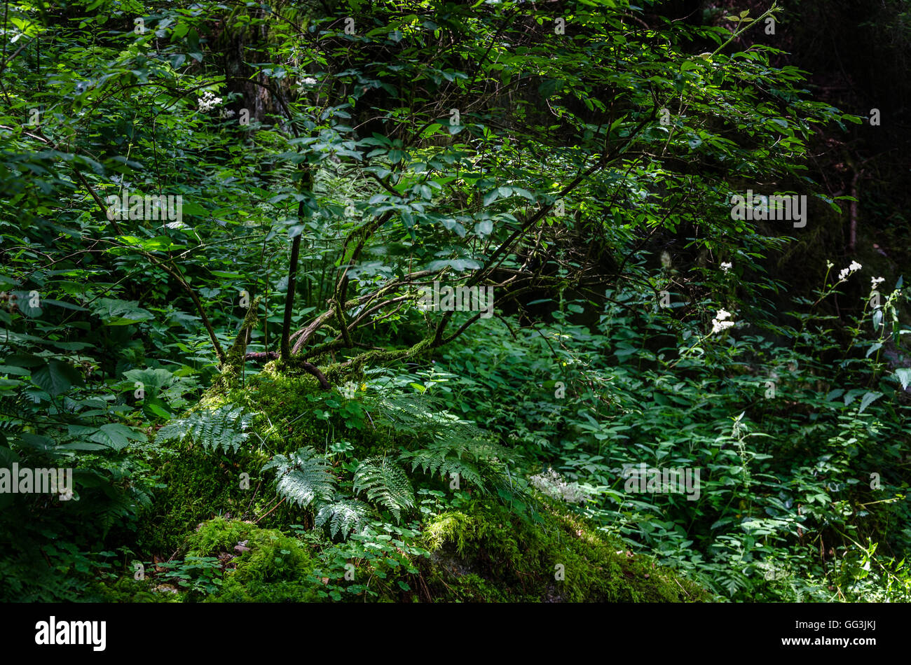 Sun light in a humid corner of the Black wood in Triberg, Germany - Stock Image