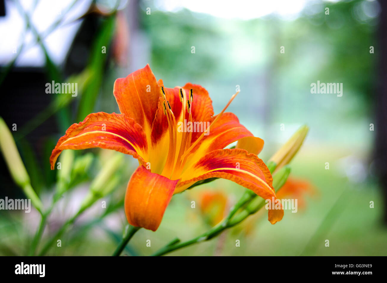 Tiger lily flower in full fiery orange bloom with stamen on a late tiger lily flower in full fiery orange bloom with stamen on a late summertime morning izmirmasajfo