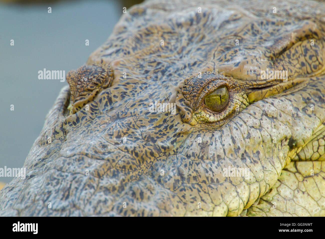 American Crocodile  Crocodylus acutus  San Blas, Nayarit, Mexico 7 June     Adult     Crocodylidae - Stock Image