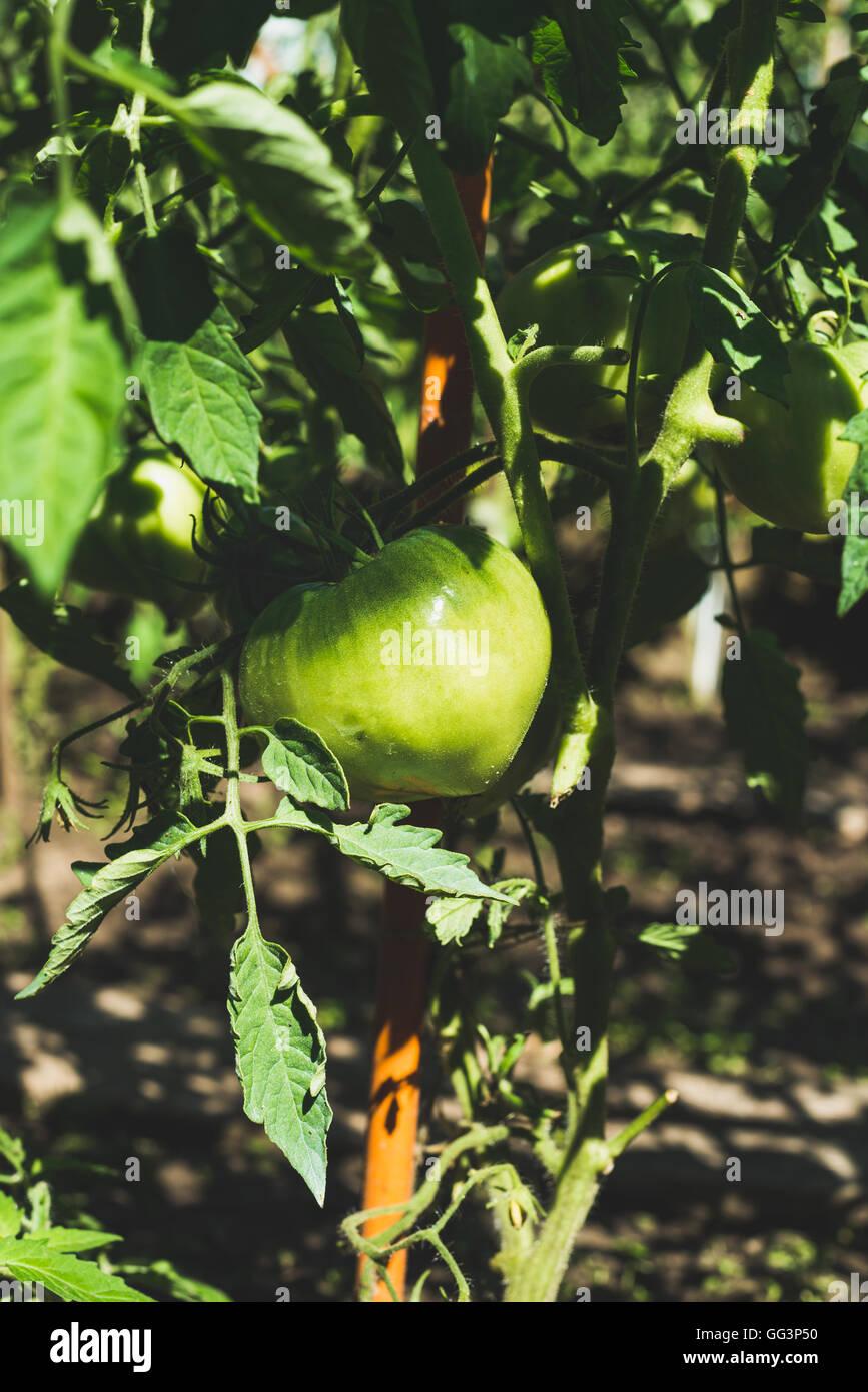 Green unripe tomato on branch in vegetable garden, vertical - Stock Image