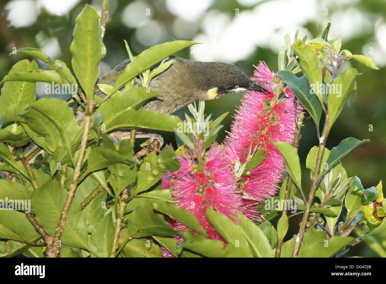 A Lewin's Honeyeater feeding on a flower. - Stock Image