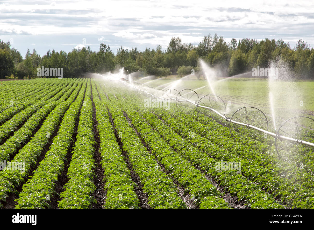Wheel Line irrigation system operating in potato field. - Stock Image