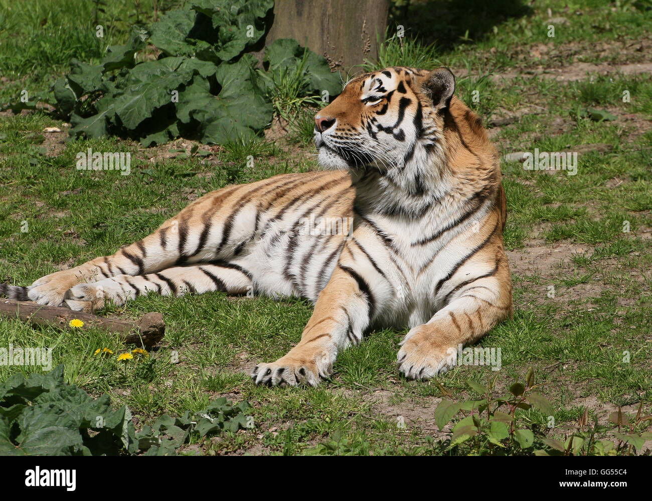 Mature male Siberian or Amur tiger (Panthera tigris altaica) - Stock Image