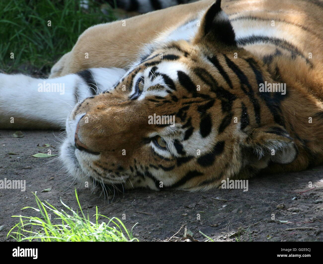 Resting  Siberian or Amur tiger (Panthera tigris altaica) with very  alert eyes - Stock Image