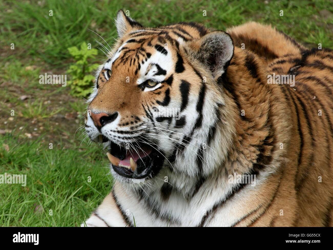 Growling  male Siberian or Amur tiger (Panthera tigris altaica) in closeup - Stock Image