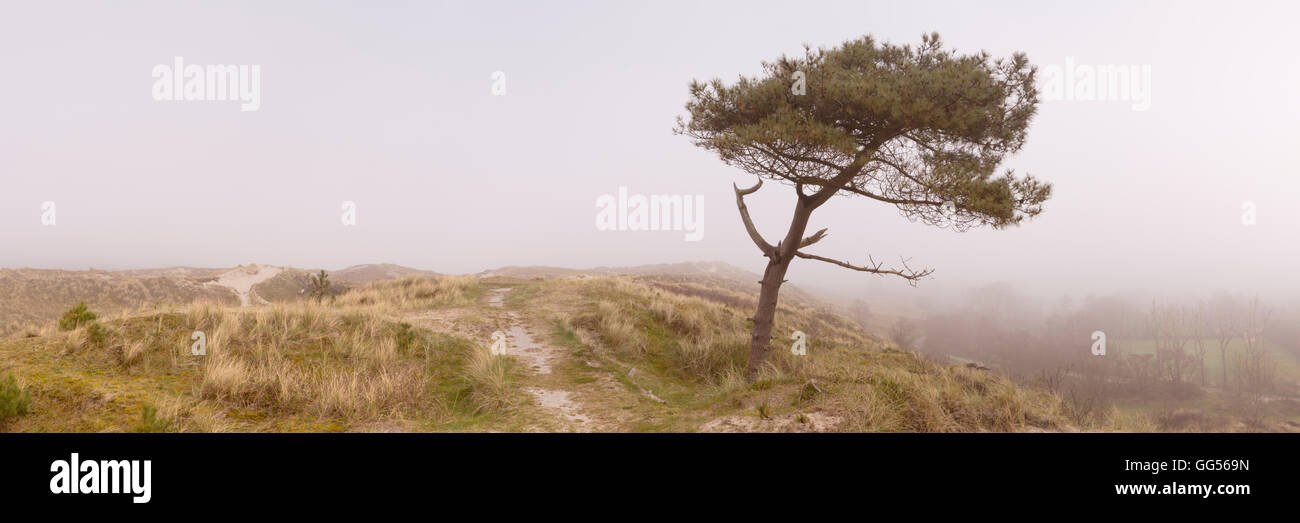 A lonely tree on a dune on the island of Terschelling in The Netherlands. Photographed on a foggy morning. - Stock Image