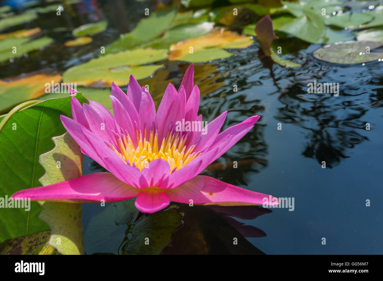 Lotus Flower In Pink Purple Violet Color With Green Leaves In Nature