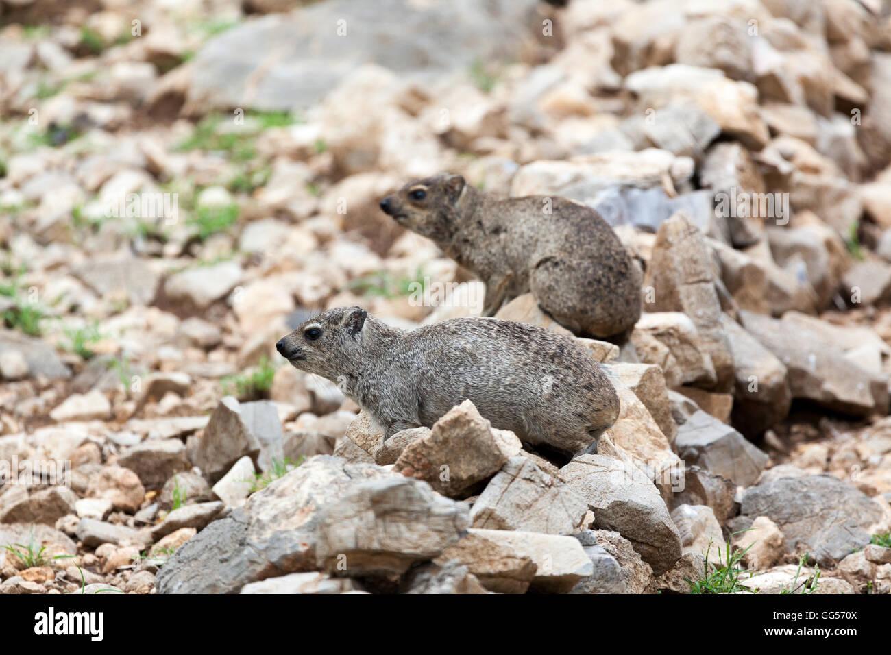 Namibia Rock Dassie, Rock Hyrax (Procavia capensis) near Etosha National Park - Stock Image