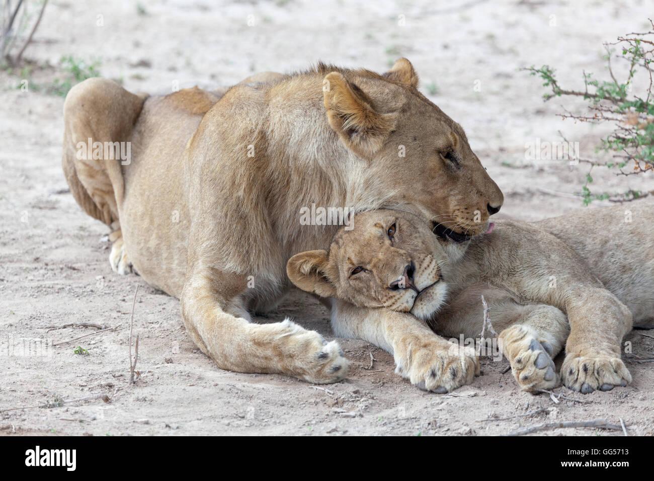 Etosha National Park Namibia Lion (Panthera leo) and cub. - Stock Image