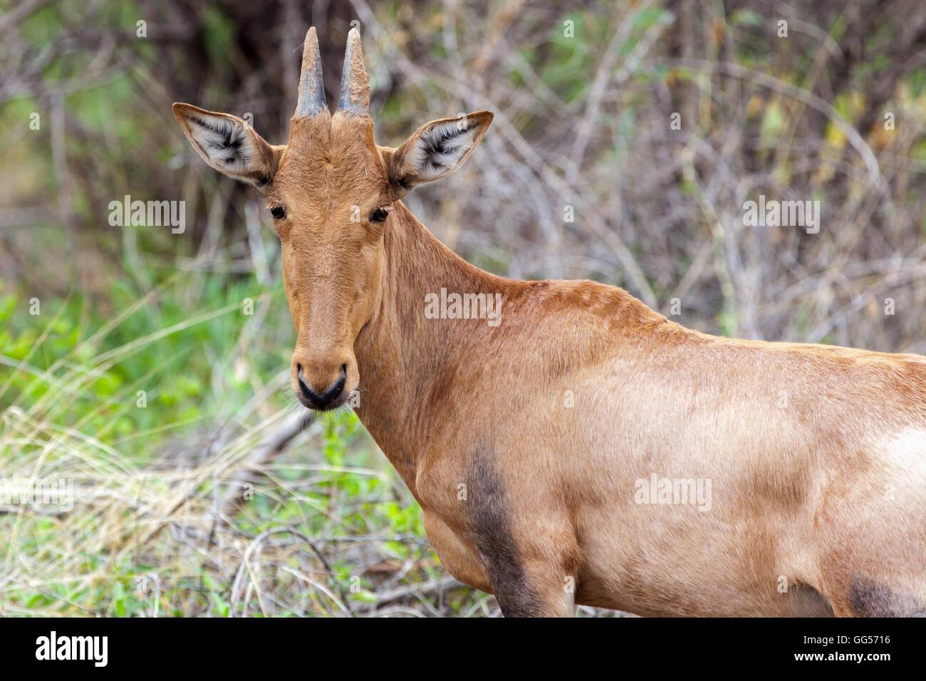 Etosha National Park Namibia Red Hartebeest (Alcelaphus buselaphus caama) - Stock Image