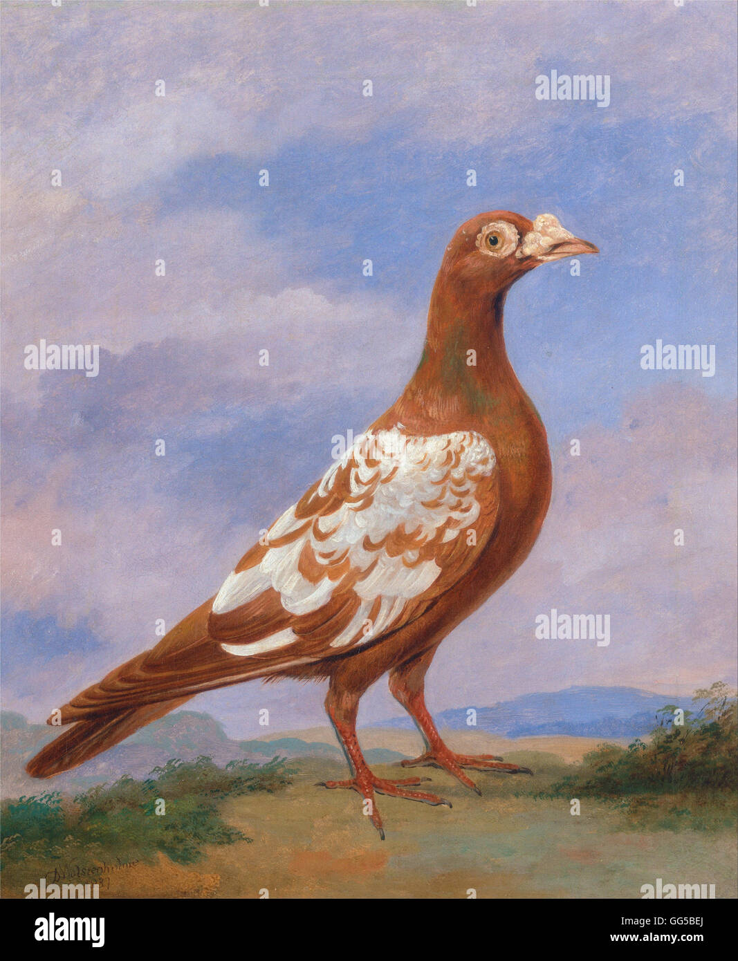 Dean Wolstenholme - Red pied carrier - Stock Image