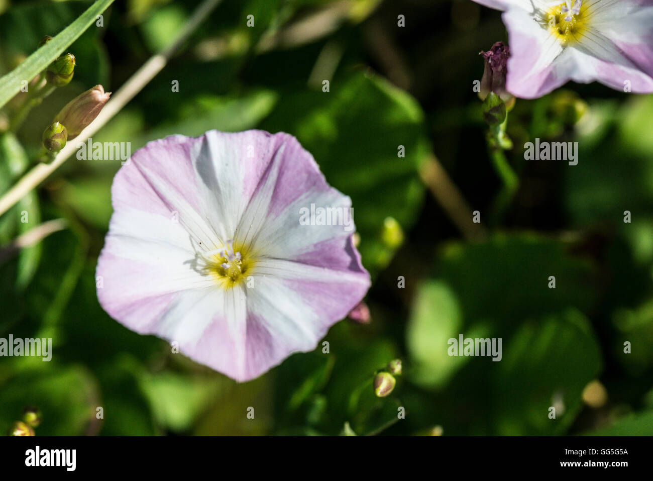 A close up of a flower of a field bindweed (Convolvulus arvensis) - Stock Image