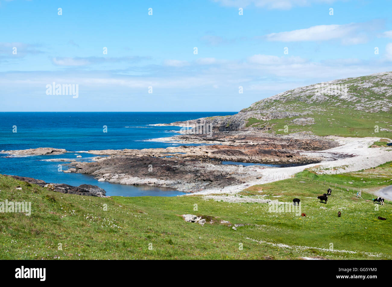 Cows grazing on machair behind small rocky bay of Bàgh nan Clach at northern end of the island of Barra in the Outer Stock Photo