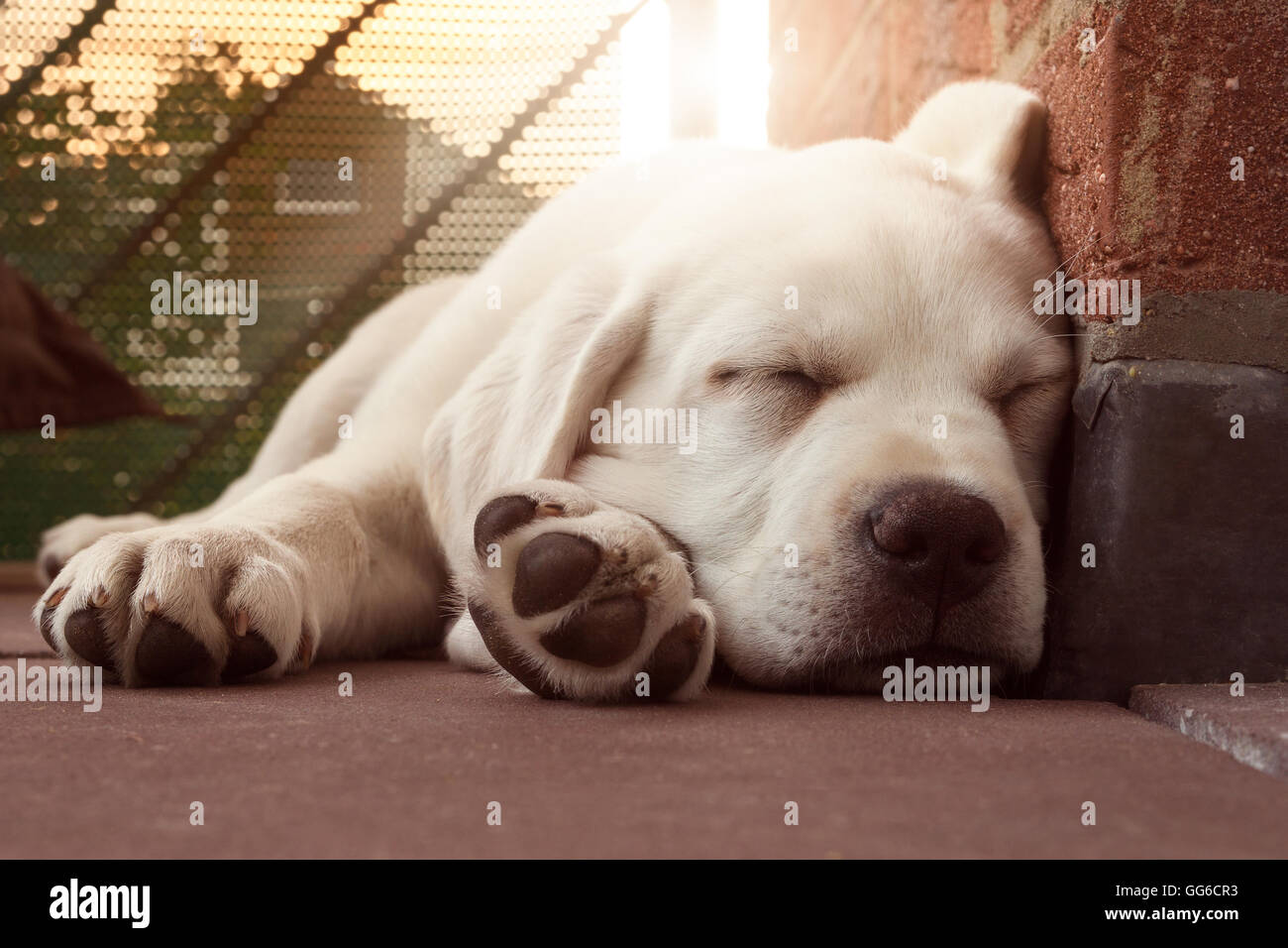 Sleeping Labrador puppy leaning on a wall at sunset - Beautiful Dog - Stock Image