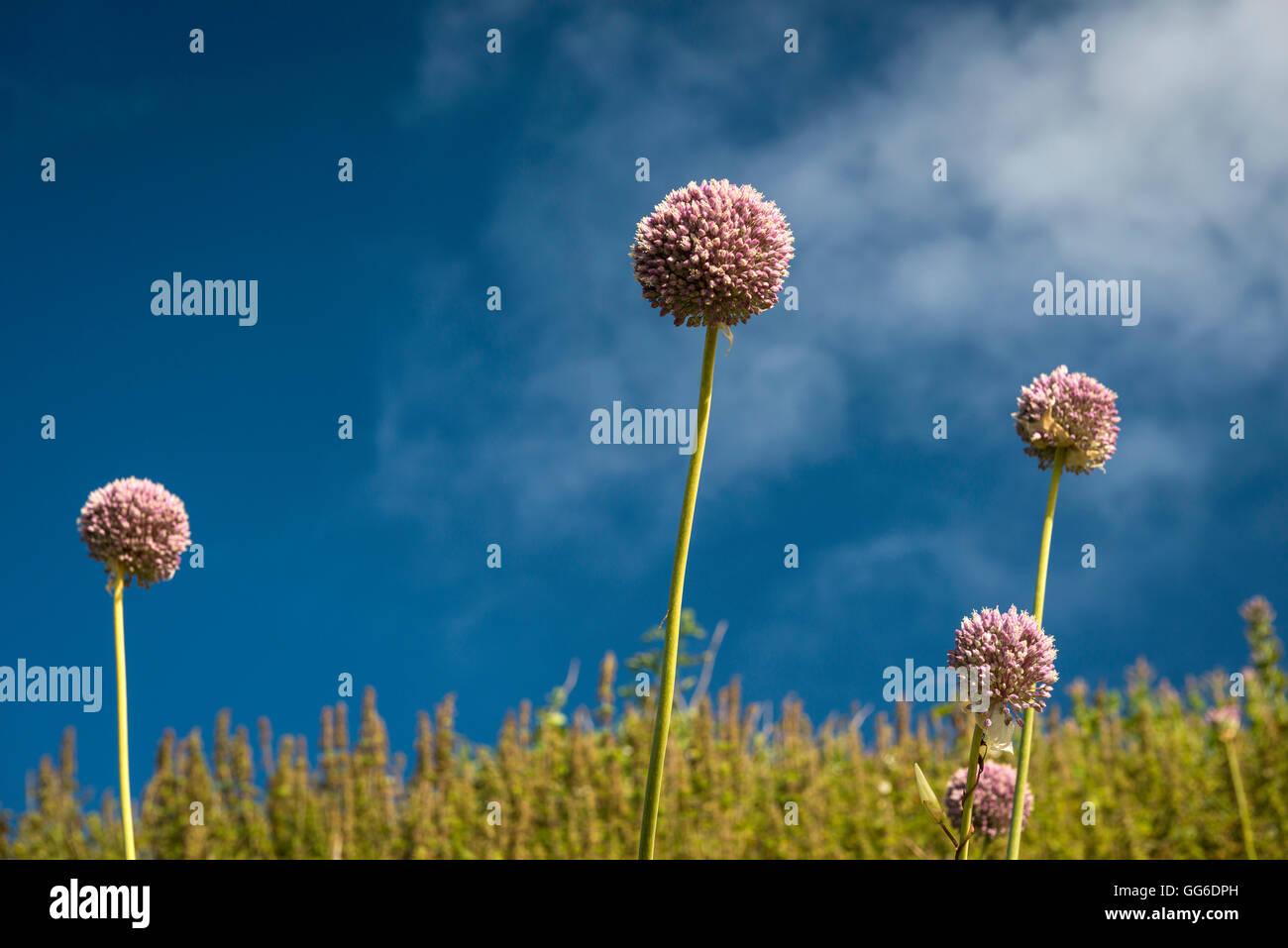 Allium flowers growing wild on the cliff path at Bigbury-on-Sea, Devon, UK - Stock Image