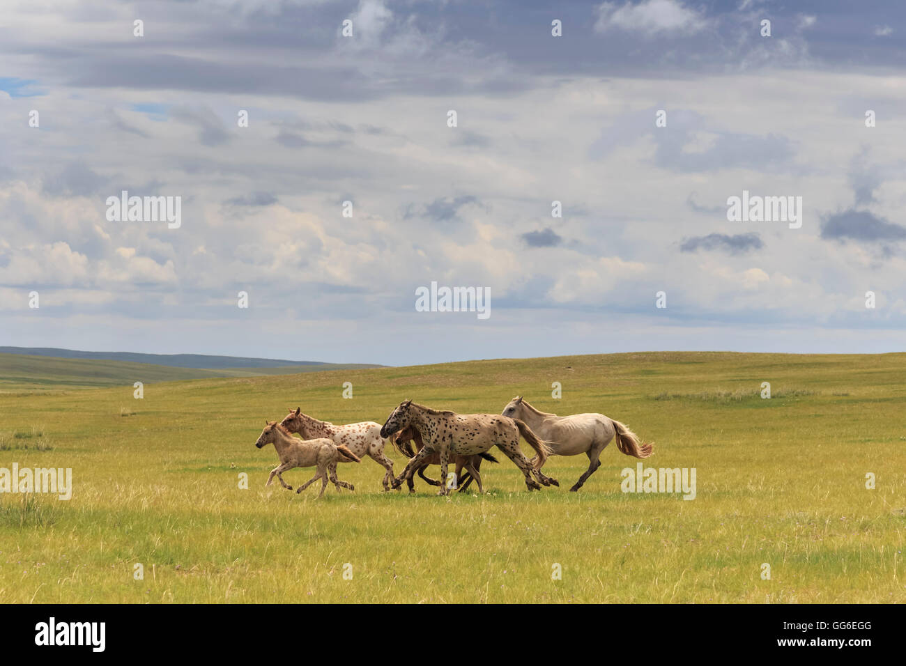 Herd of dappled and pale horses and foals, grassland with flowers in summer, Uvurkhangai, Central Mongolia, Mongolia - Stock Image
