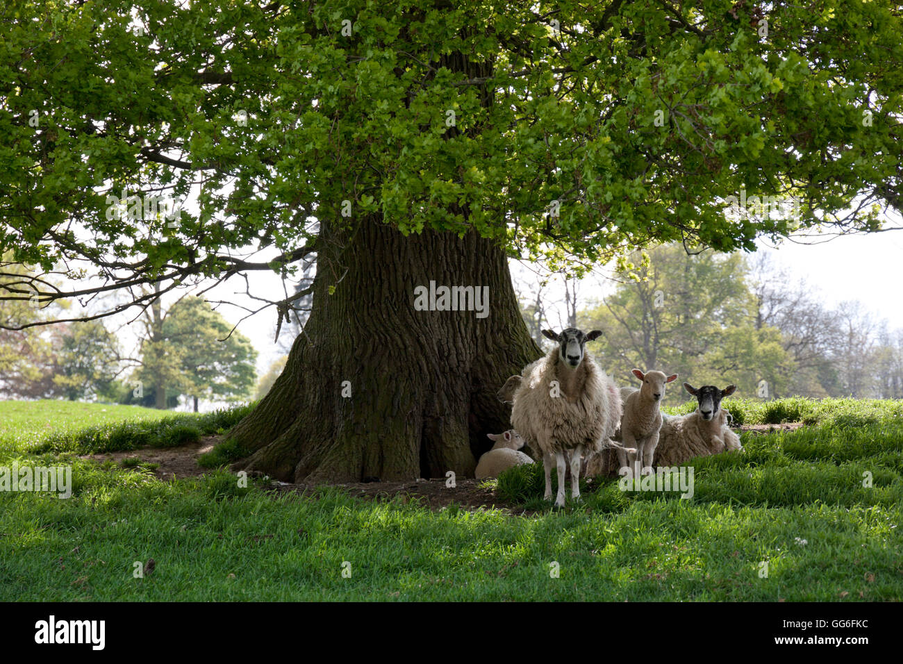 Ewes and lambs under shade of oak tree, Chipping Campden, Cotswolds, Gloucestershire, England, United Kingdom, Europe - Stock Image