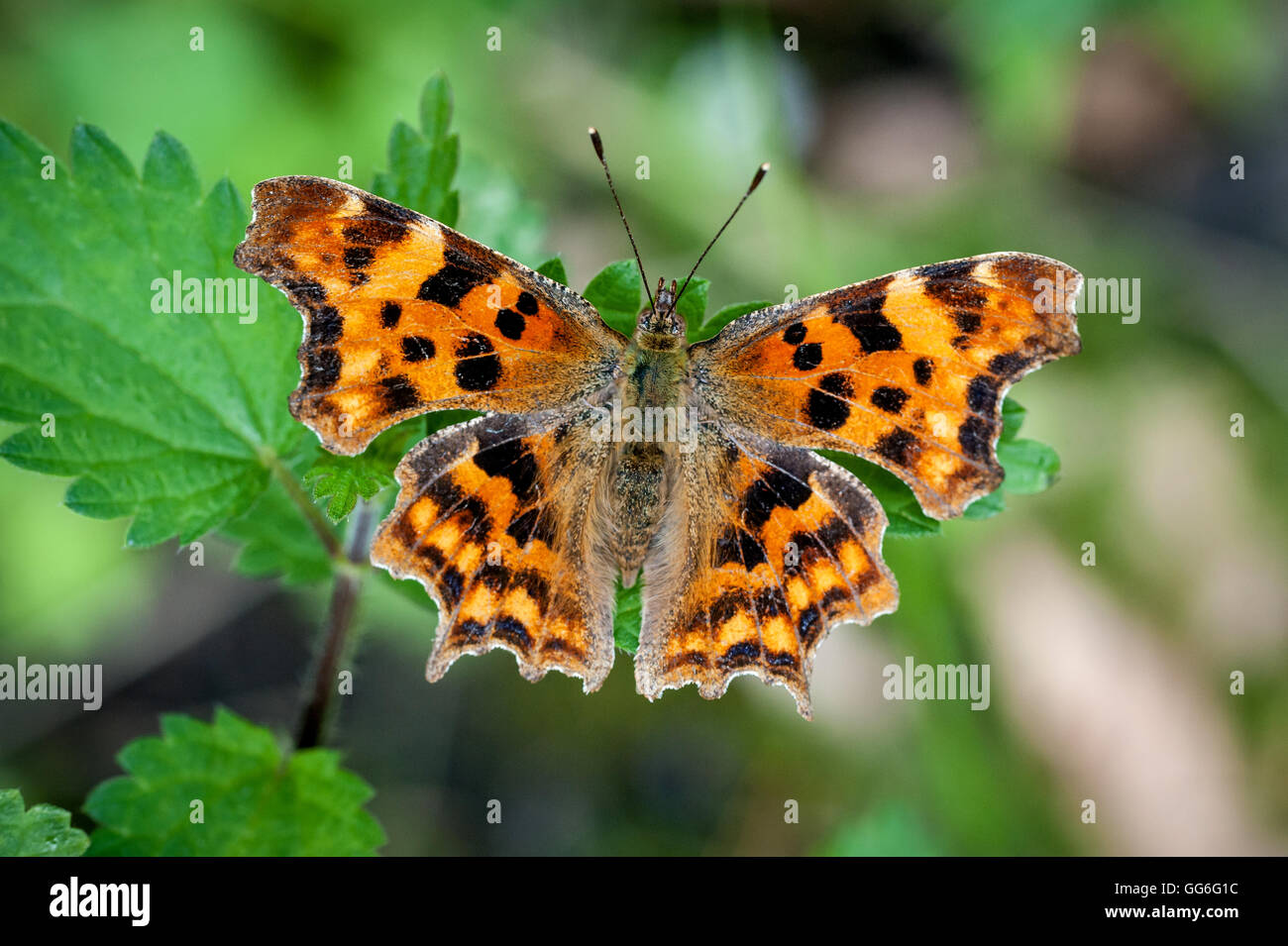 A Comma Butterfly on a leaf in southern England - Stock Image