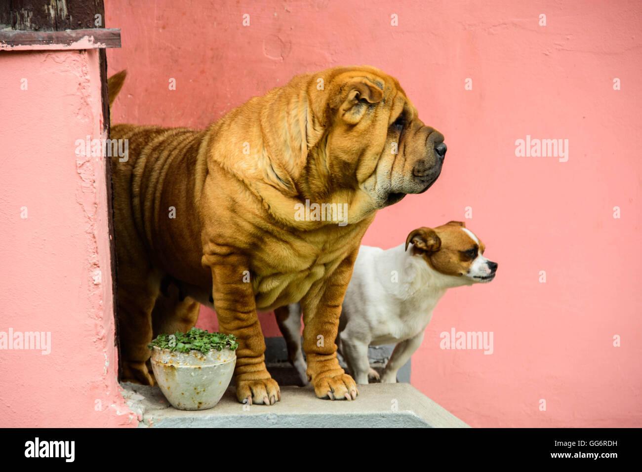 Shar pei dog - Stock Image