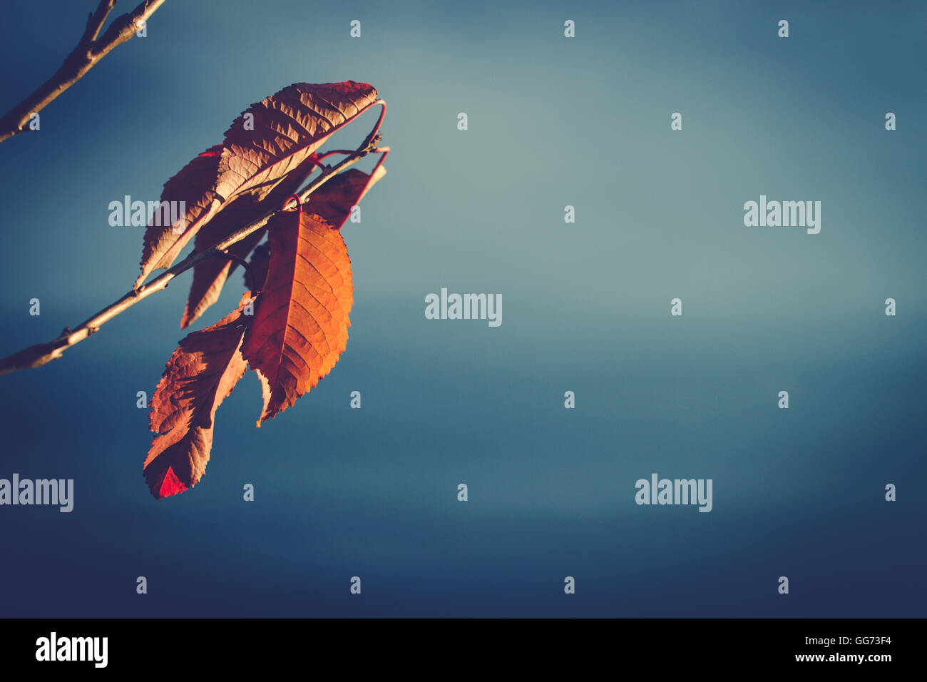 brown cherry leaves on a branch with blue background - Stock Image