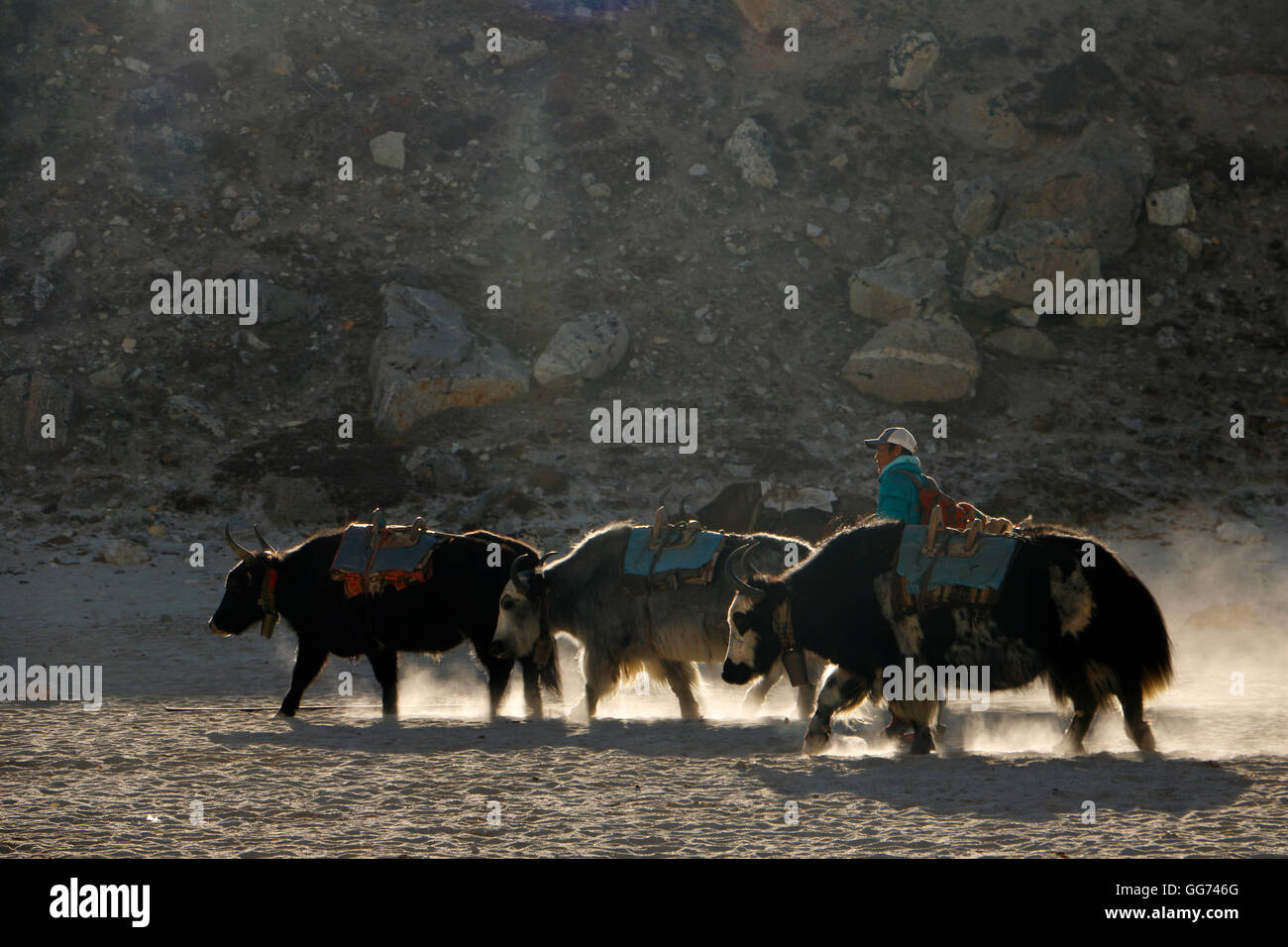 Yaks in Late afternoon  at Gorak Shep - Stock Image