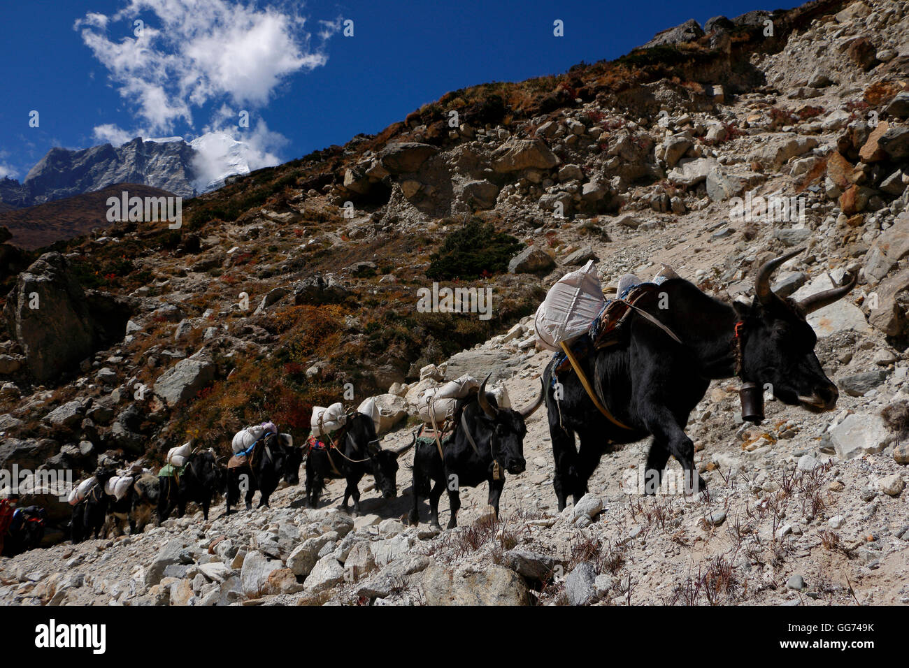 Yaks train on route to Dingboche - Stock Image