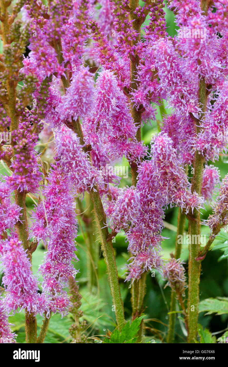 Feathery Pink Flowers Of The Moisture Loving Hardy Perennial