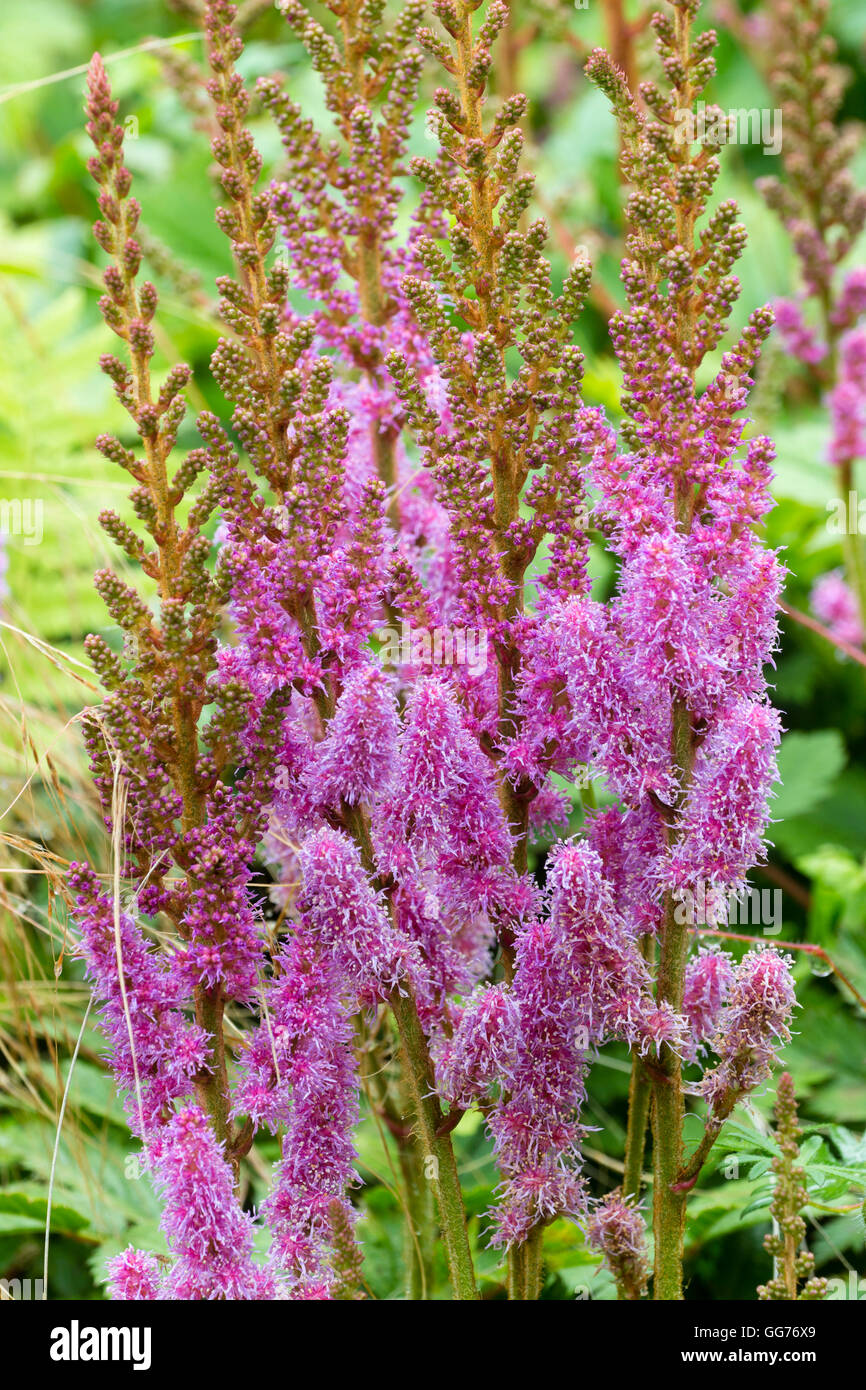 Astilbe flowers pink stock photos astilbe flowers pink stock feathery pink flowers of the moisture loving hardy perennial astilbe chinensis var pumila mightylinksfo
