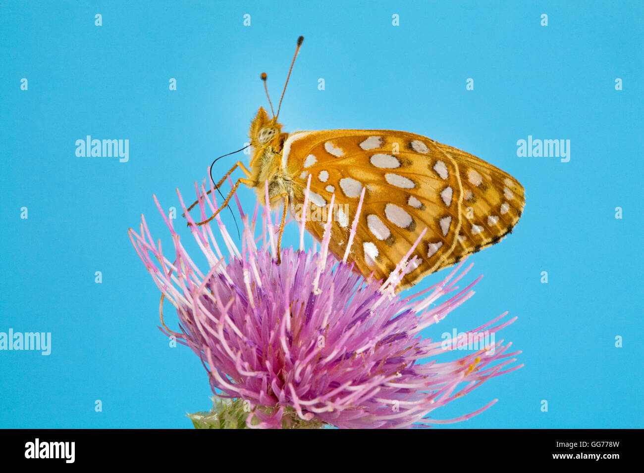 A Great Spangled Fritillary butterfly, Speyeria cybele , lit on a Bull thistle (Cirsium vulgare) seeking nectar. - Stock Image