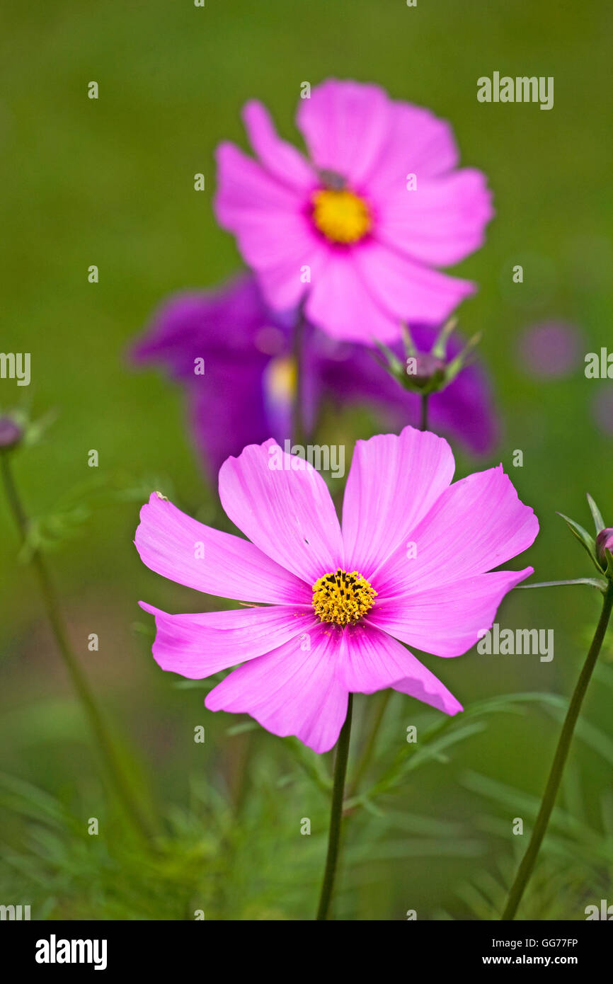 Cosmos, a lovely flower, Cosmos bipinnatus, native to Mexico and a member of the sunflower family. - Stock Image