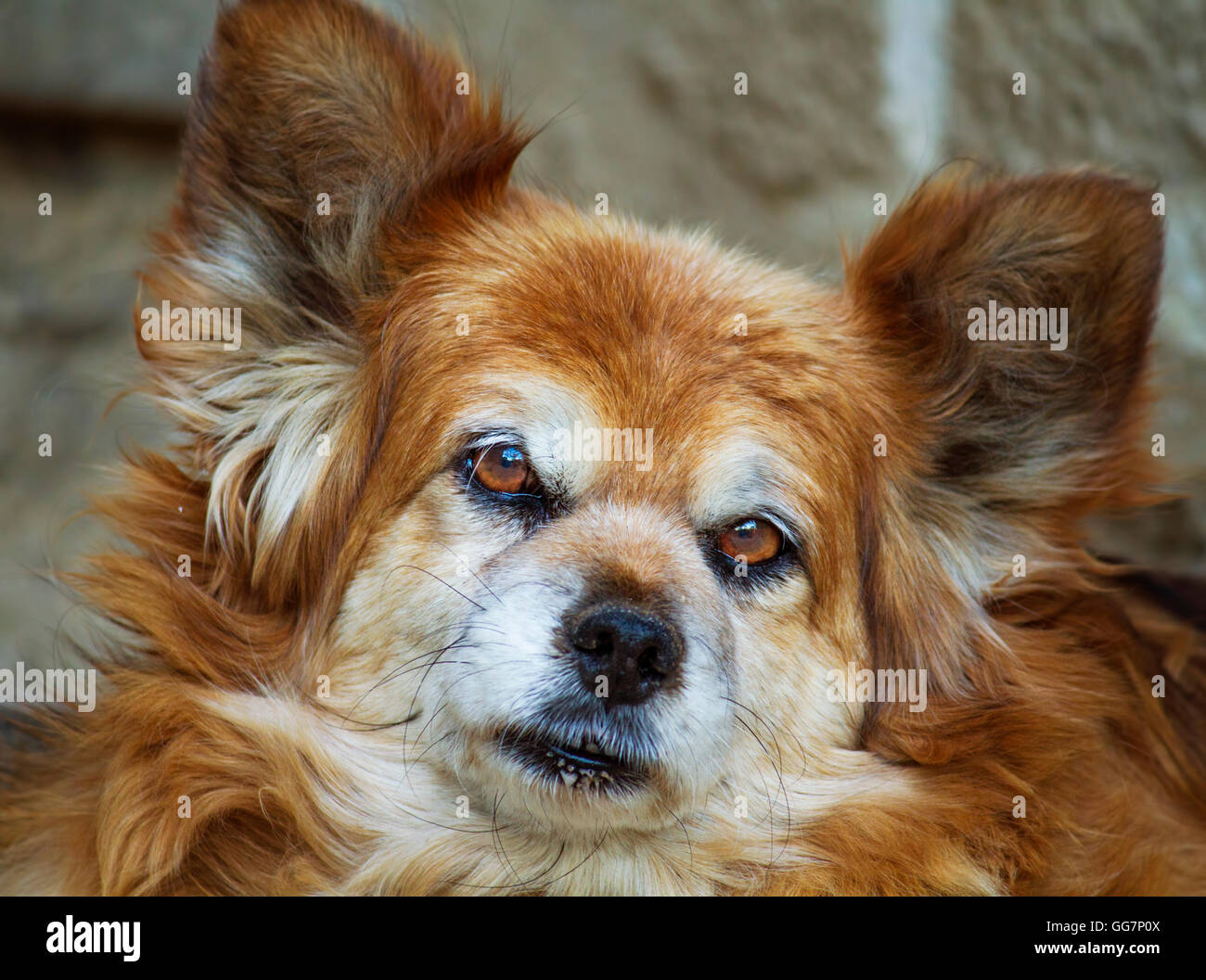 Purebred Papillon Dog Portrait Stock Photo 113267642 Alamy