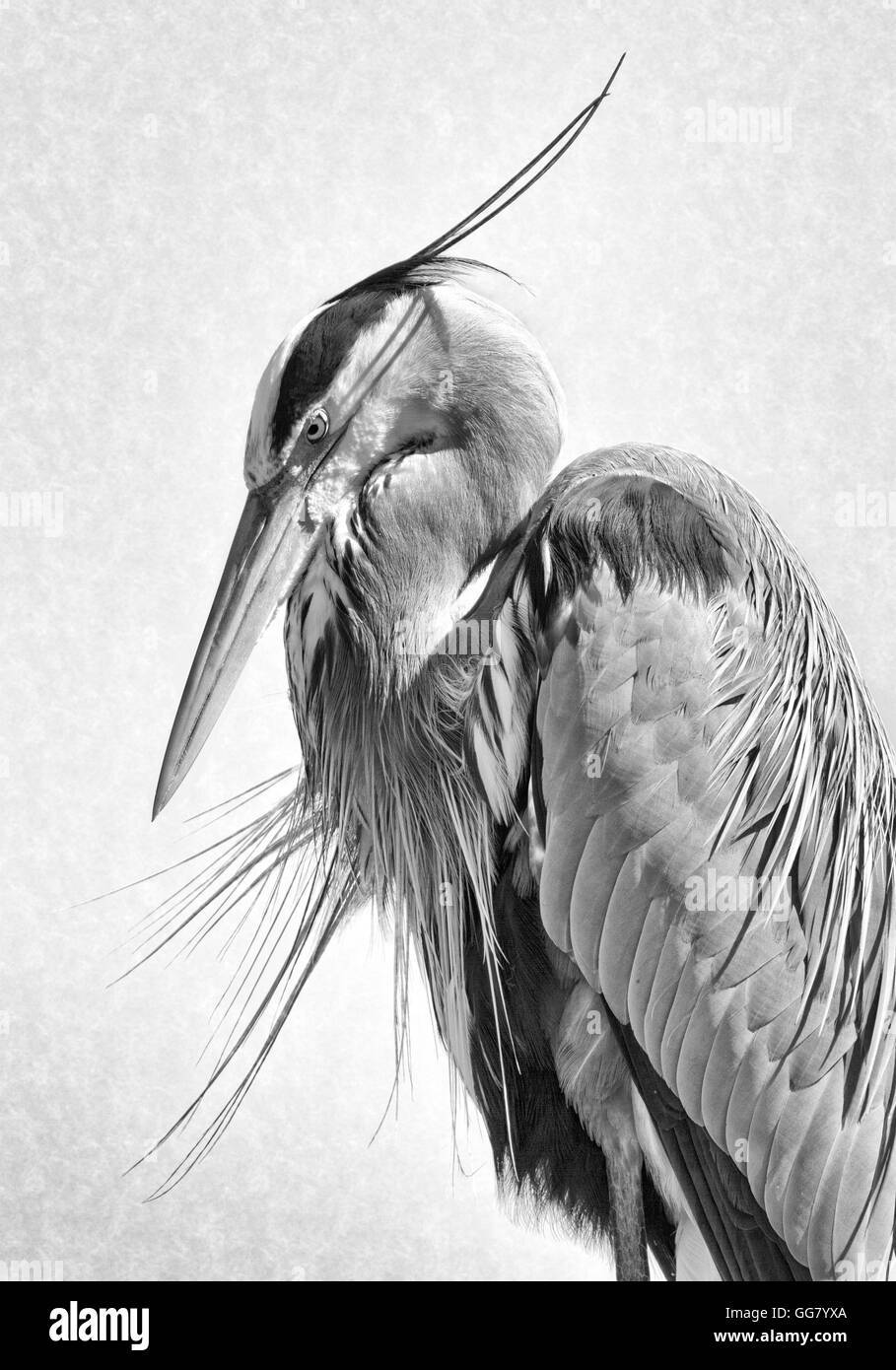 I call this image Plume Shadows as the bw high key treatment shows off the feather detail & the parallel shadows - Stock Image