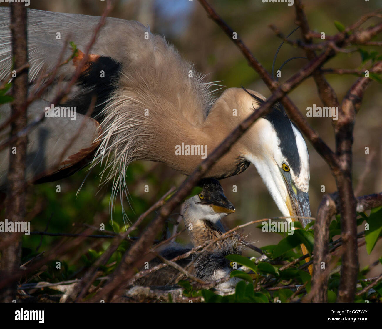 Maternal Great Blue Heron housekeeping with two chicks under her protection. - Stock Image