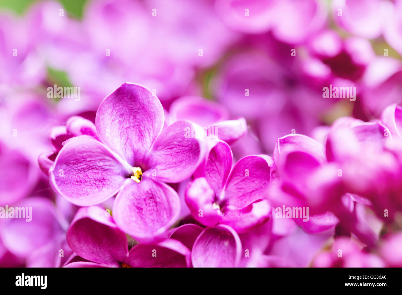 Bright lilac flower shot with selective focus - Stock Image