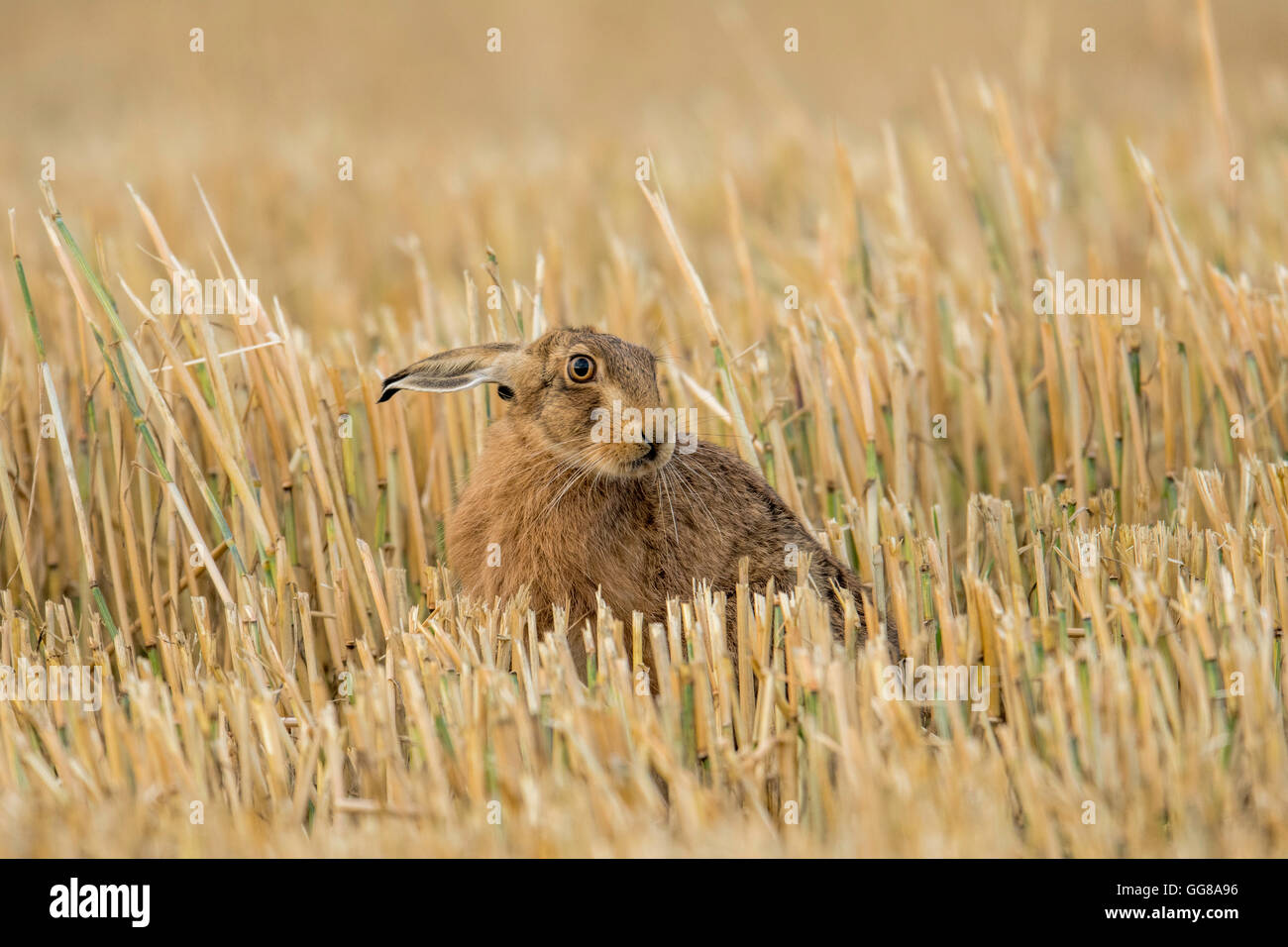 European Brown Hare(Lepus europaeus) sat in a Norfolk stubble field. - Stock Image