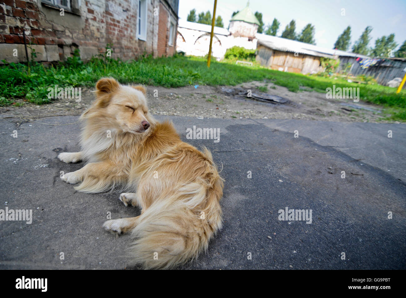 Mixed breed dog lying on the street in Suzdal, Russia - Stock Image