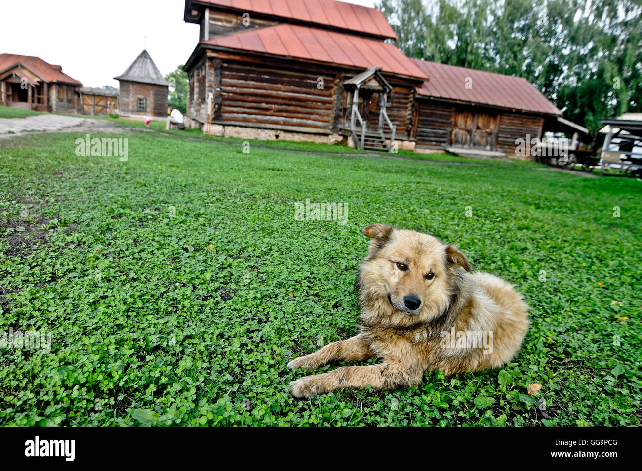 Mixed breed dog lying on grass in Suzdal, Russia - Stock Image