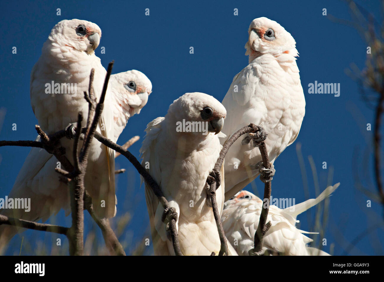 Little corella Cockatoo's  ( Cacatua sanguinea ) Western Australia - Stock Image
