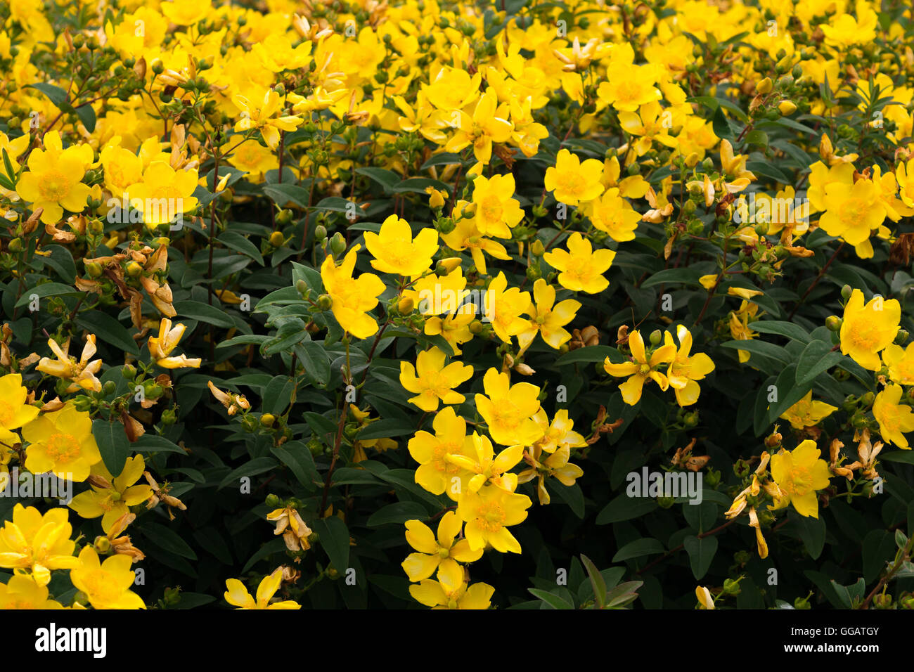 Bush With Yellow Flowers Stock Photos Bush With Yellow Flowers
