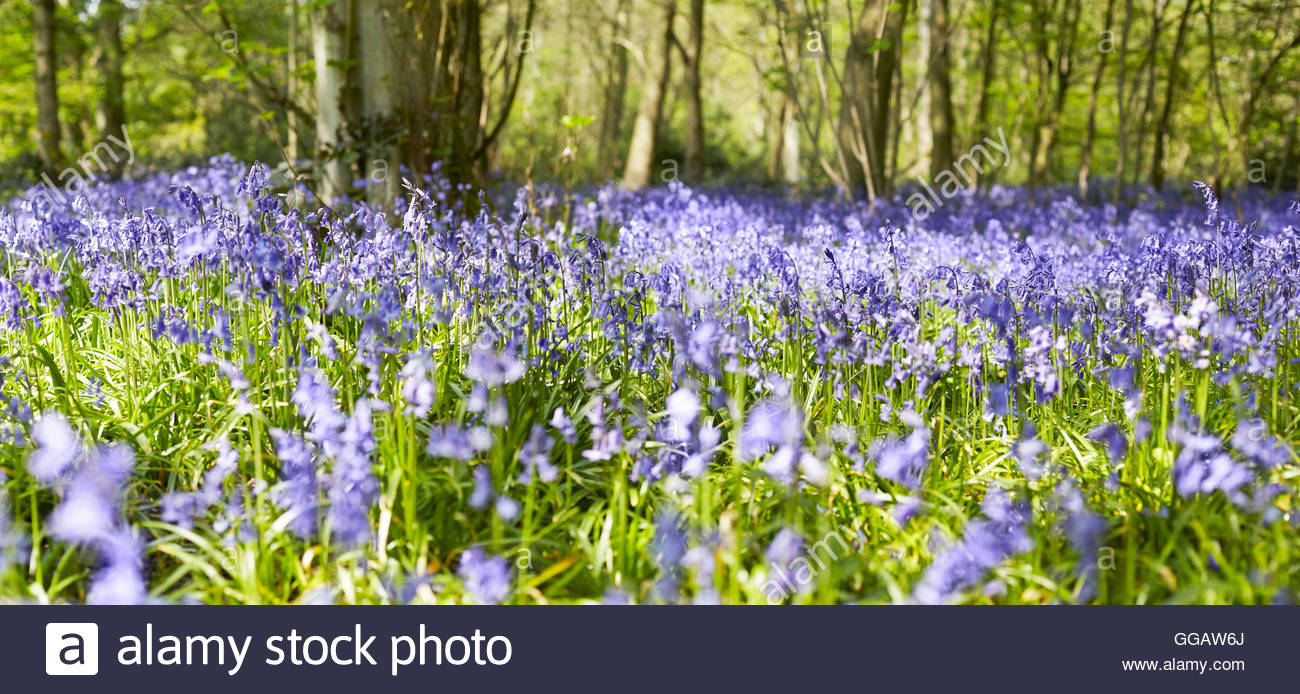 Hyacinthoides Bluebell Woods in spring - Stock Image