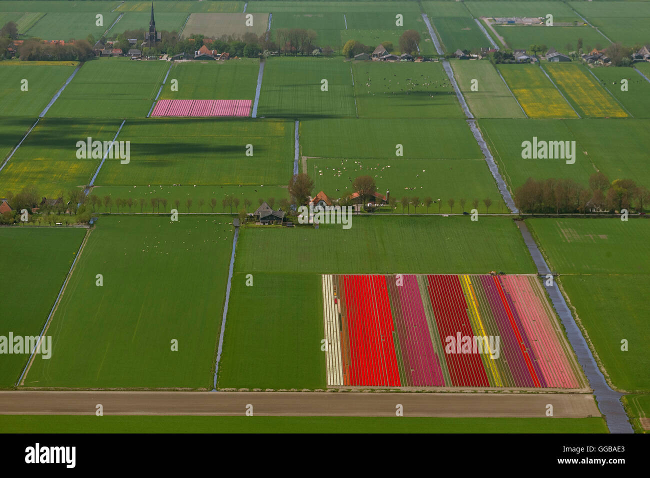 Aerial view, tulip fields, agriculture, colorful tulip fields, tulips (lat.Tulipa), ornamental flowers, Zuidoostbeemster, Stock Photo