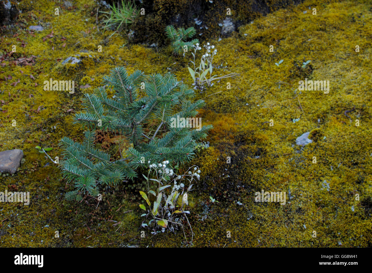 Moss and close-up view of a Tibetan conifer species growing in the Himalayas - Stock Image