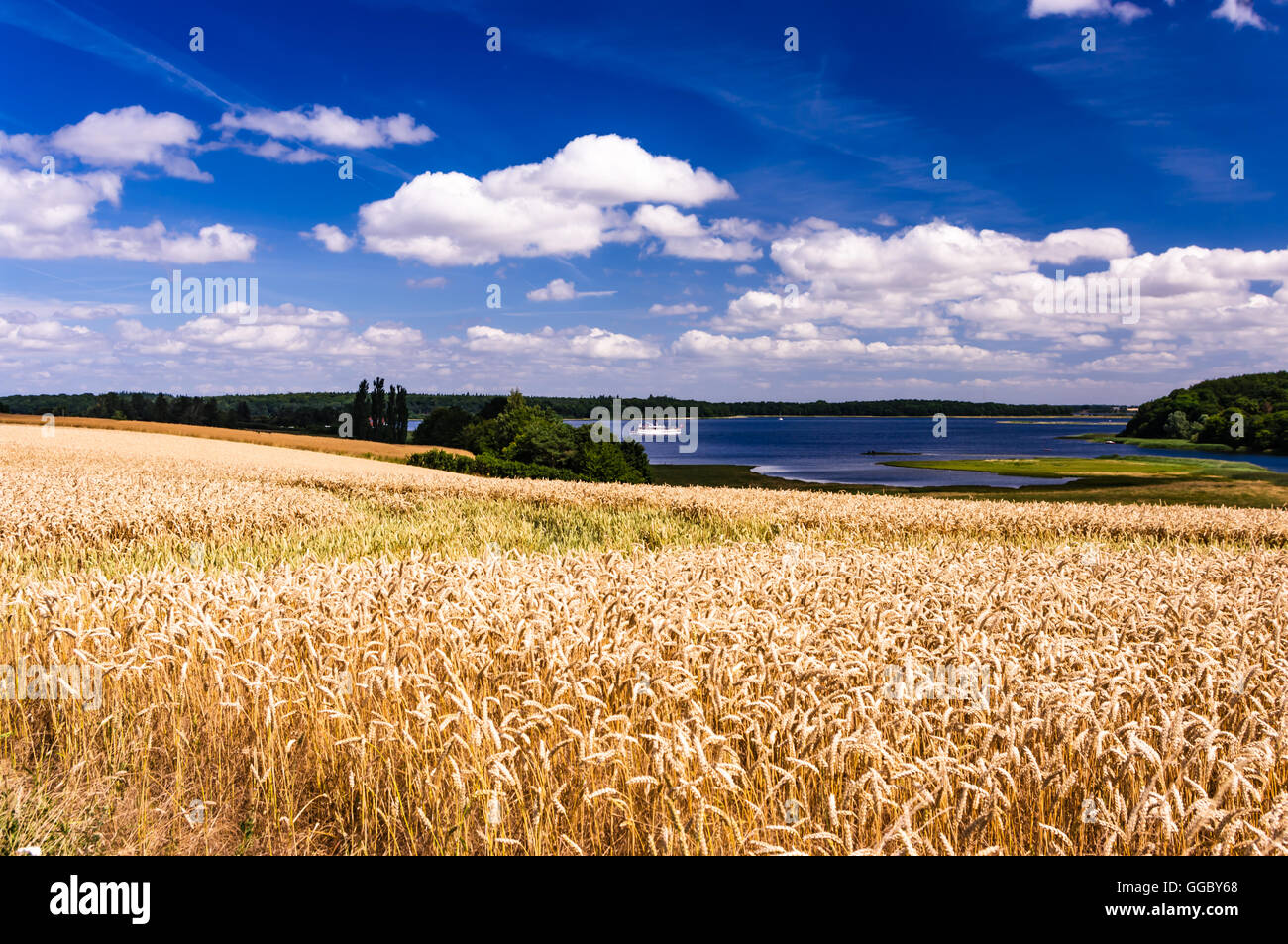 Golden fields in front of the turquoise waters of the Roskilde fjorden with the dark green forrest at its shores - Stock Image